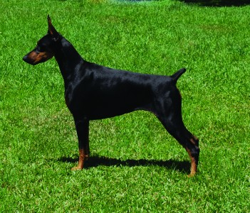 "In 2010 Am/Int Ch. LeMils DNA WAC ""DeeDee"" owned by member Michelle Lewis finished her championship"