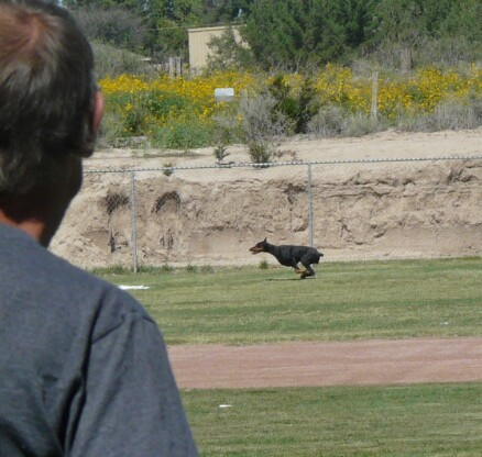 Int'l CH Darkstar's Ka-Ching CGC, WAC, CA Ching finishing her last leg for her lure coursing title---CA
