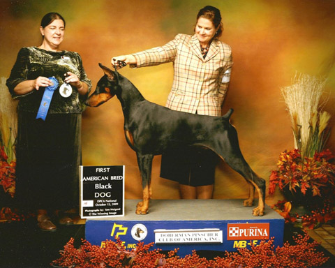 Bred and owned by Louise Mogler, her boy GCh. Suncliff's Full Throttle went reserve winner's dog at the 2009 DPCA National. He was shown here by Sara Lopez and finished by Michelle Santana