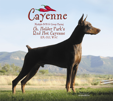 "Judith Walter's boy, Ch. Holder Park's Red Hot Cayenne CD, RN, CGC, ROM ""Cayenne"" earned his CD and became a ROM in November 2011"