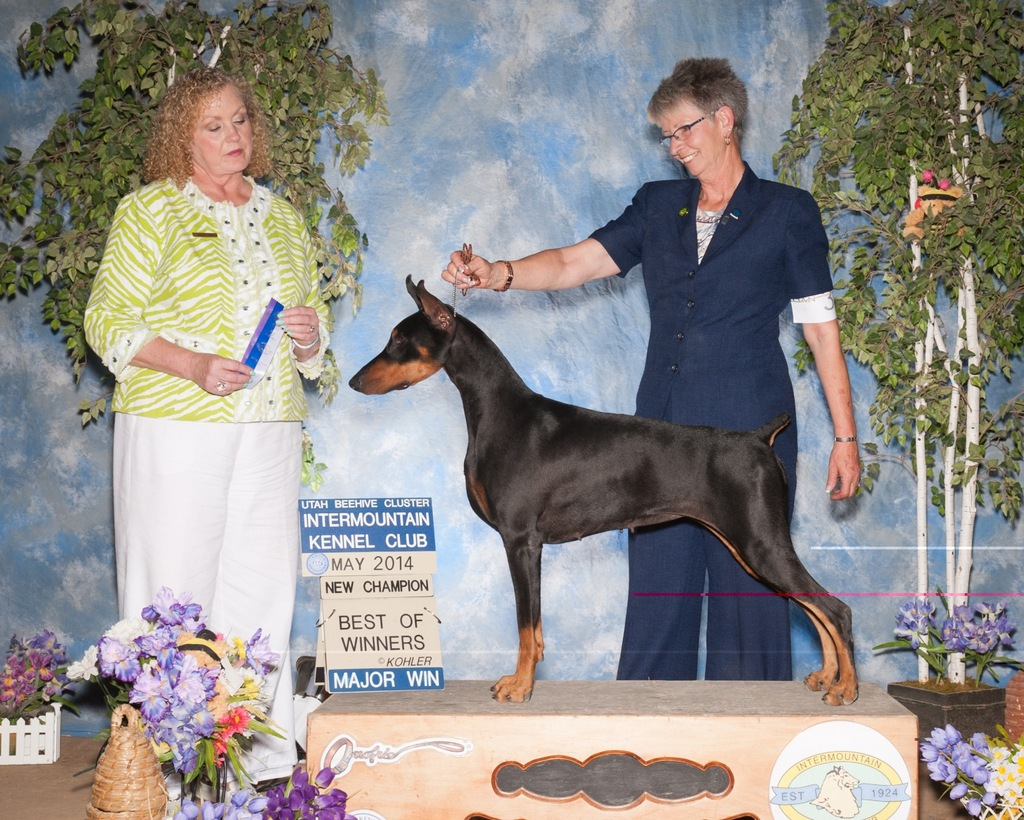 New Champion! CH Gallant's Classified Adds V Ciden finished by going WB on 5/1 and WB BW on 5/4 during the Utah Valley Kennel Club shows under Judges Mr Terry Stacy and Mrs Kimberly Meredith-Cavanna. Addy is owned by Rick & Debby Castro