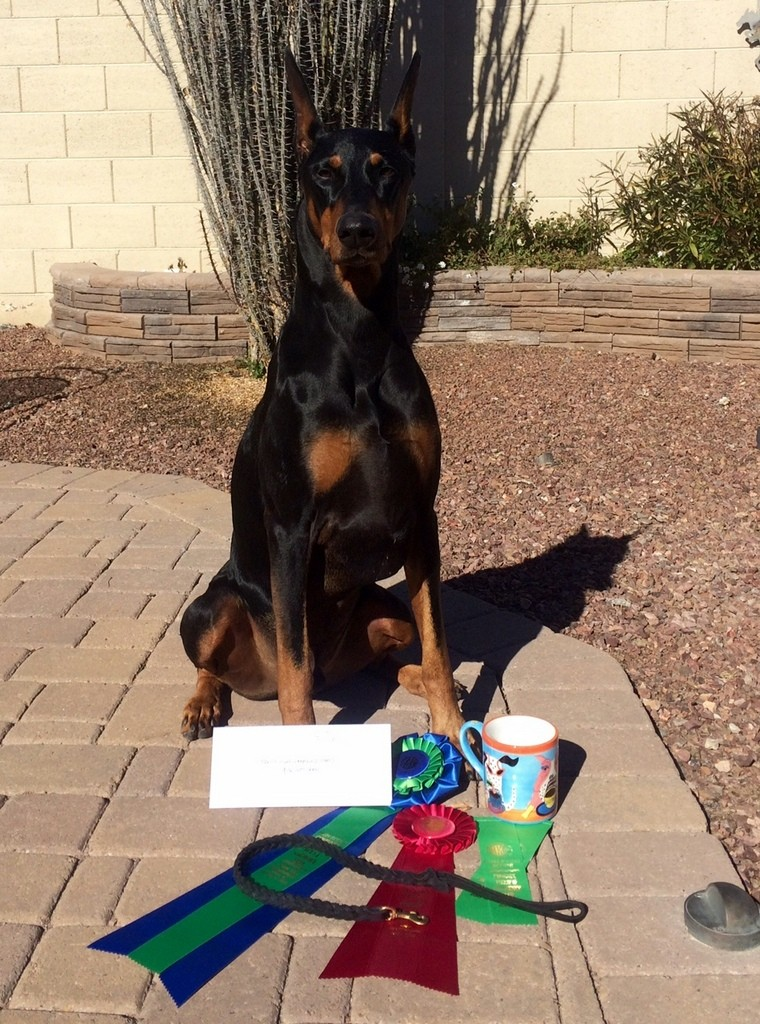 Vader earns his 5th & 6th legs for his RAE & going High Combined in Rally on 1/17/15 at the Phoenix Field & Obedience Club Trial January 17/18, 2015!