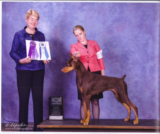 Serri took a 5 point major at the Dallas Doberman Specialty by taking Best of Winners. Beautifully handled by Ashlie Whitmore. Thank you to judge Dr. Mimi Brown. Congrats Judie, Jim & Serri!