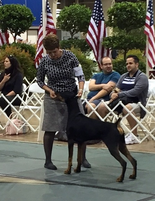Winmar's Kris Kringle taking his first points from the 6-9 puppy classes. . . Kris owned by Bob Allen and handled by Lisa Buroff. Congrats Kris - looks like he's got this show dog thing down!