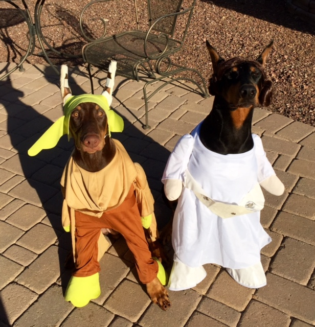 Sapphire's Allusion RN CGC aka Zannah & Koral's Ryezing SunV Radiant aka Pivo are trying to use the force to get treats!
