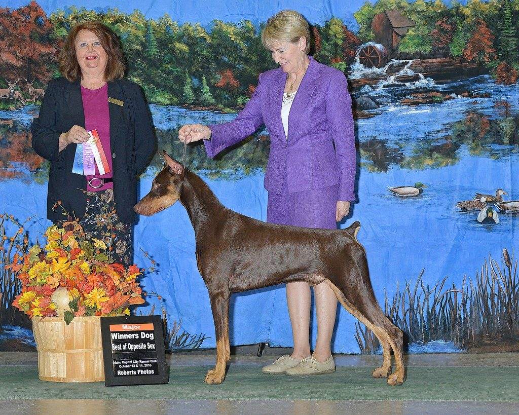 Koral's Ryezing Sun V Radiant DS went Winners Dog and Best of Opposite Sex for a 5 point major at the Idaho Capital City Kennel Club Show in October. He was expertly handled by Cathy Ceely. Thank you to the judge, Mrs. Janice L McClary, for his first Major points. He had a great weekend showing in Idaho and also went Reserve Winners Dog on two additional days of showing. He is owned and loved by Jenn & Shawn Cannerelli.
