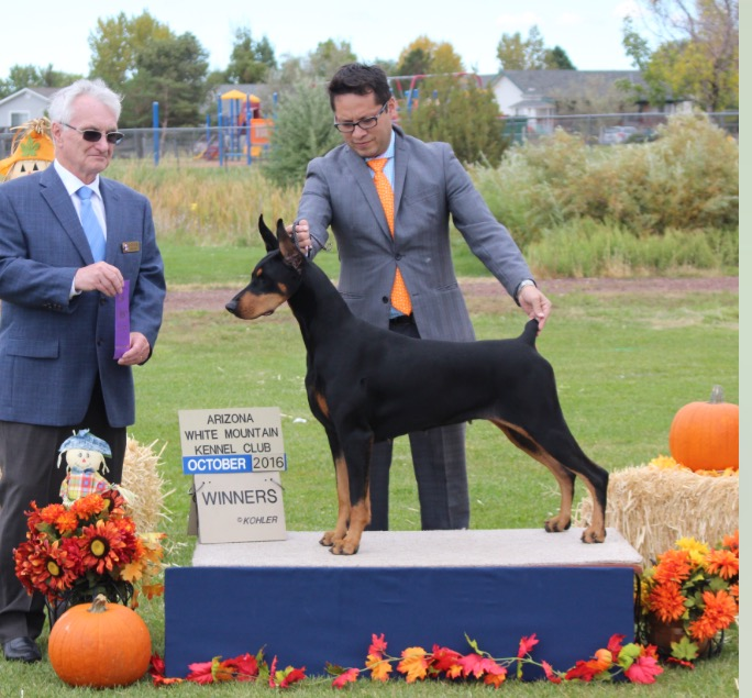 Foxfire's The Dirty Hot Martini owned by Kim Clark went Winners Bitch at the Arizona White Mountain Kennel Club Show in October 2016.